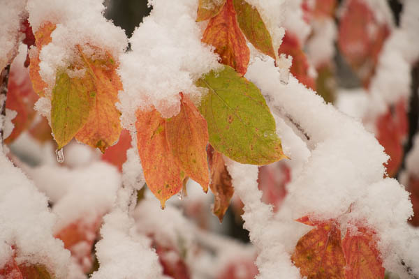 Dogwood leaves covered in snow