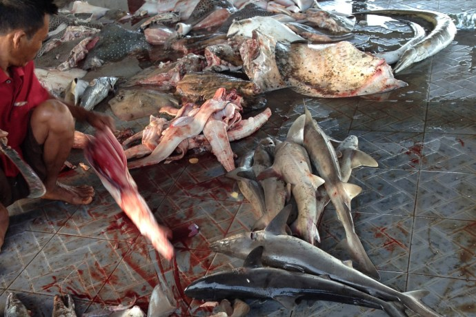 Shark finning at Tanjung Luar