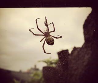 spidersydney