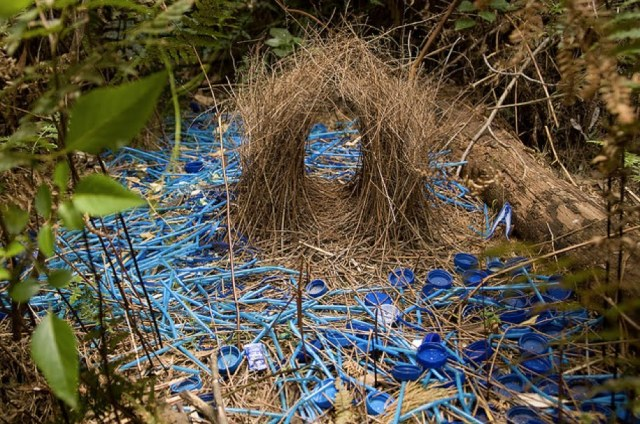 Nest built by male bower bird in Australia — Source: VitalForest.com