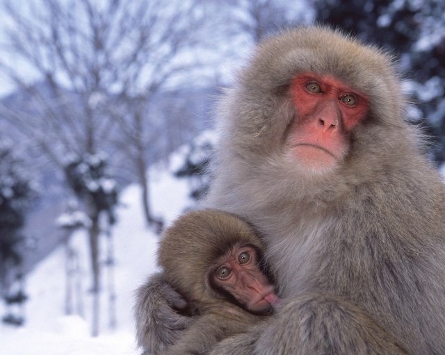 Japanese macaque nursing baby in snow, Honshu Island, Japan — Source: Toft Tours
