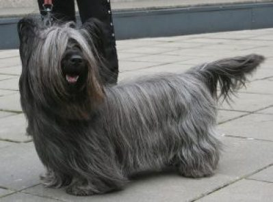 AD body_skye terrier