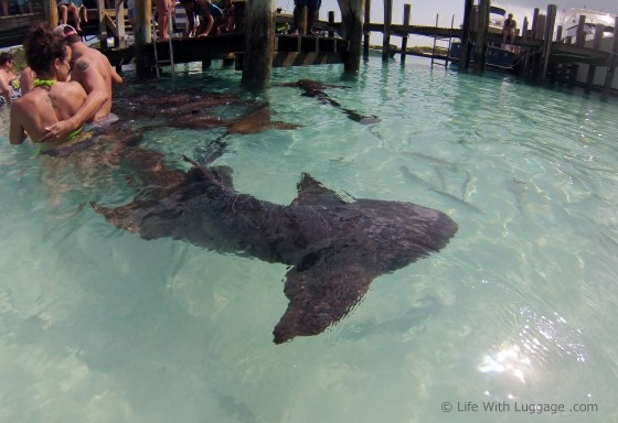 Nurse Sharks at Compass Cay