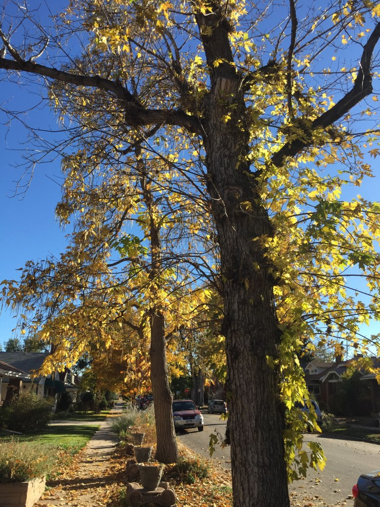 My cell phone cannot capture the elegance of these two trees, glowing, with long seed pods dangling like ornaments.