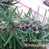 Ugh Our Rosemary Plant Is Infested & The Winner Of Our Garden Hod Giveaway!