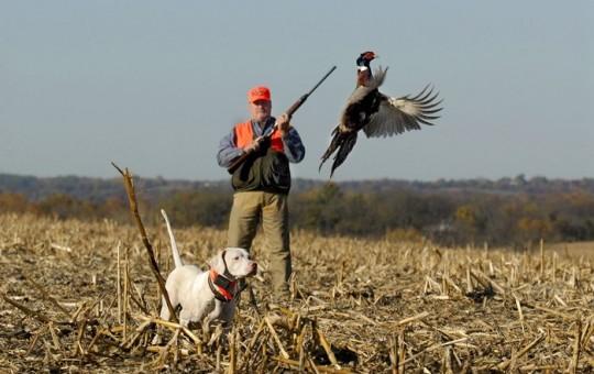 Upland Birds- Pheasant hunting Kansas