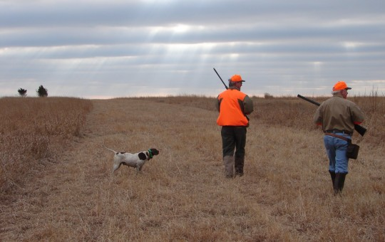 Upland Birds- Pheasant hunting Kansas (5)