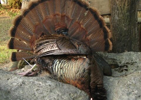 Eastern Turkey Hunts Kansas Outfitter (12)