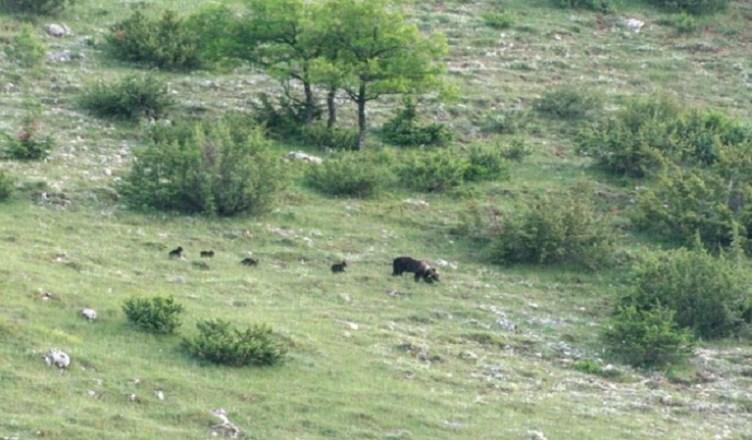 orsa e cuccioli pescassseroli