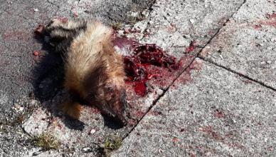 carcassa animale arpino