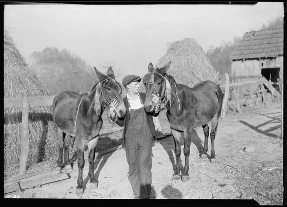 800px-A_close-up_of_Gaines_McGlothin,_R._F._D._2,_Kingsport,_Tennessee,_with_his_two_mules._McGlothin_has_two_cows_and..._-_NARA_-_532746
