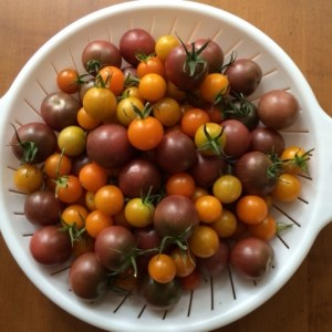 Black Cherry and Sun Gold tomatoes