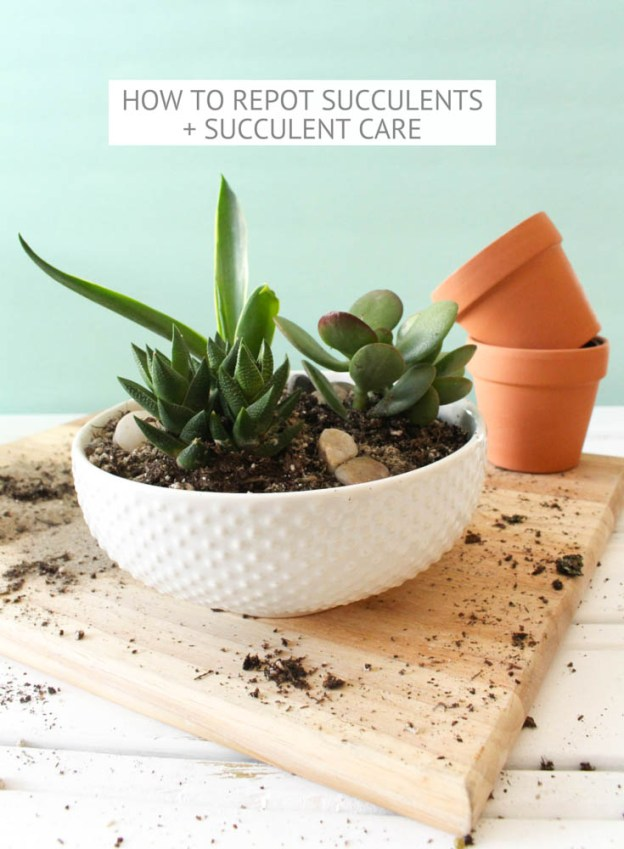 how to repot succulents succulent care little dekonings. Black Bedroom Furniture Sets. Home Design Ideas