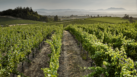 Picturesque vineyards stretch for miles in Sonoma.