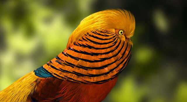 Golden Pheasant Bird Facts  Pictures and other Information Hover Effect Golden Pheasant Fierce