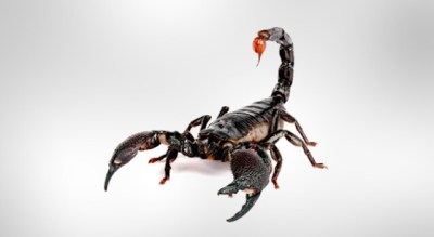 Scorpion Facts, Scorpion Pictures and Types