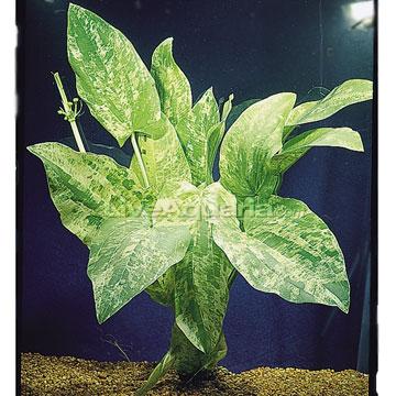Aquatic Plants for Freshwater Aquariums: Radican, Marble Queen