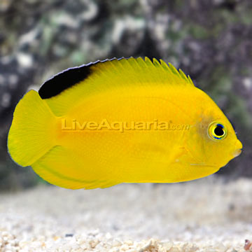 Marine fish tank maintenance yellow water 2017 fish tank for Yellow saltwater fish