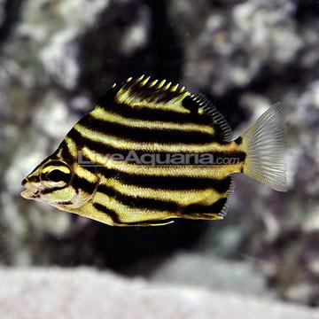 Saltwater Aquarium Fish for Marine Aquariums: Australian Stripey