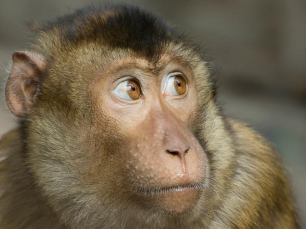 macaque2