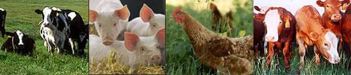 Organic Livestock Management