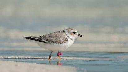 Piping Plovers: The Story of a Bahamian Bird