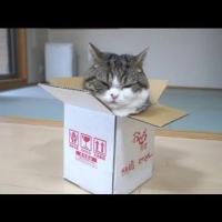 Maru Cat Has A New Too Small Box
