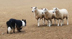 sheep dog picture