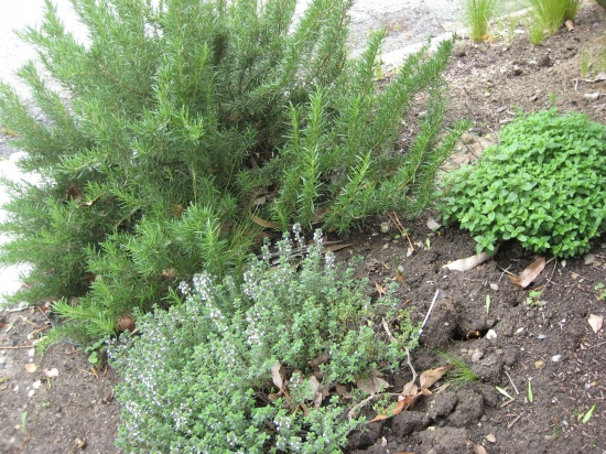 Rosemary, Thyme and Oregano Lori Dennis Front Yard Edible Garden