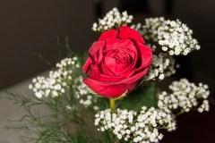 red-rose-0290