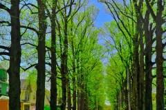 Tulip Poplar Trees