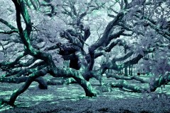 Infrared Angel Oak