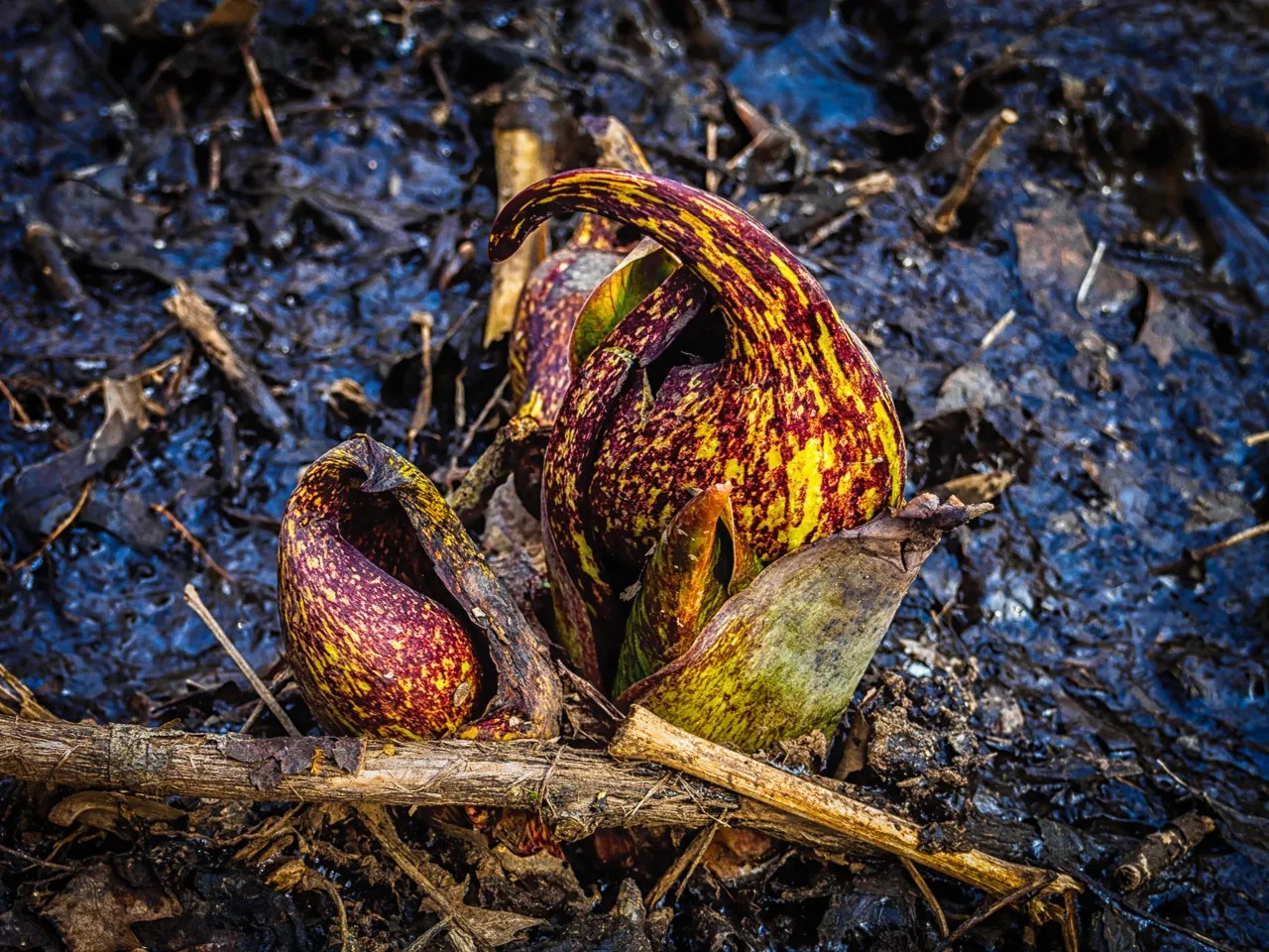 skunk-cabbage-