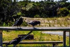 assateague-crows-2373