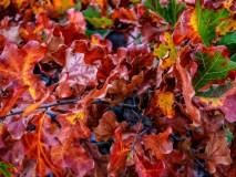 Burning Oak Leaves