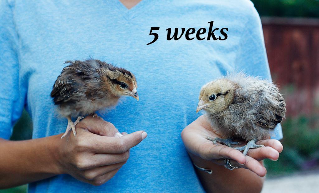 baby-chicks-1