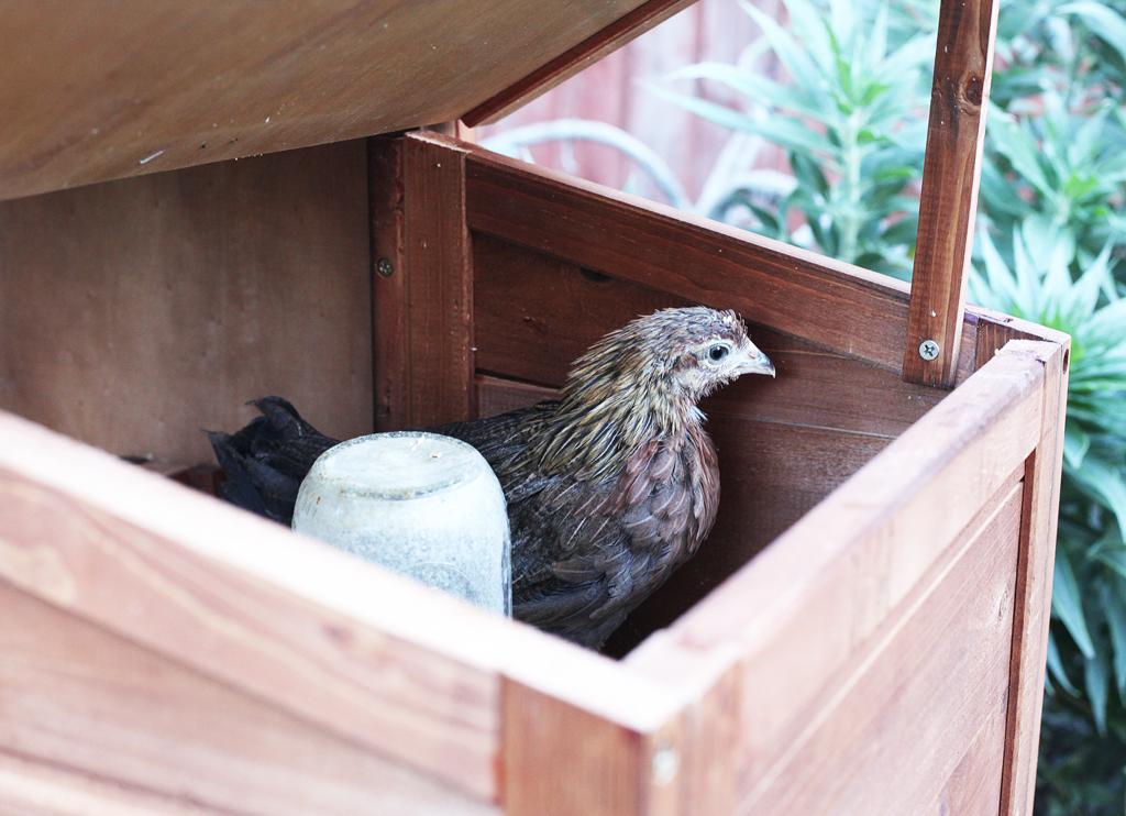 nesting-box-chicken