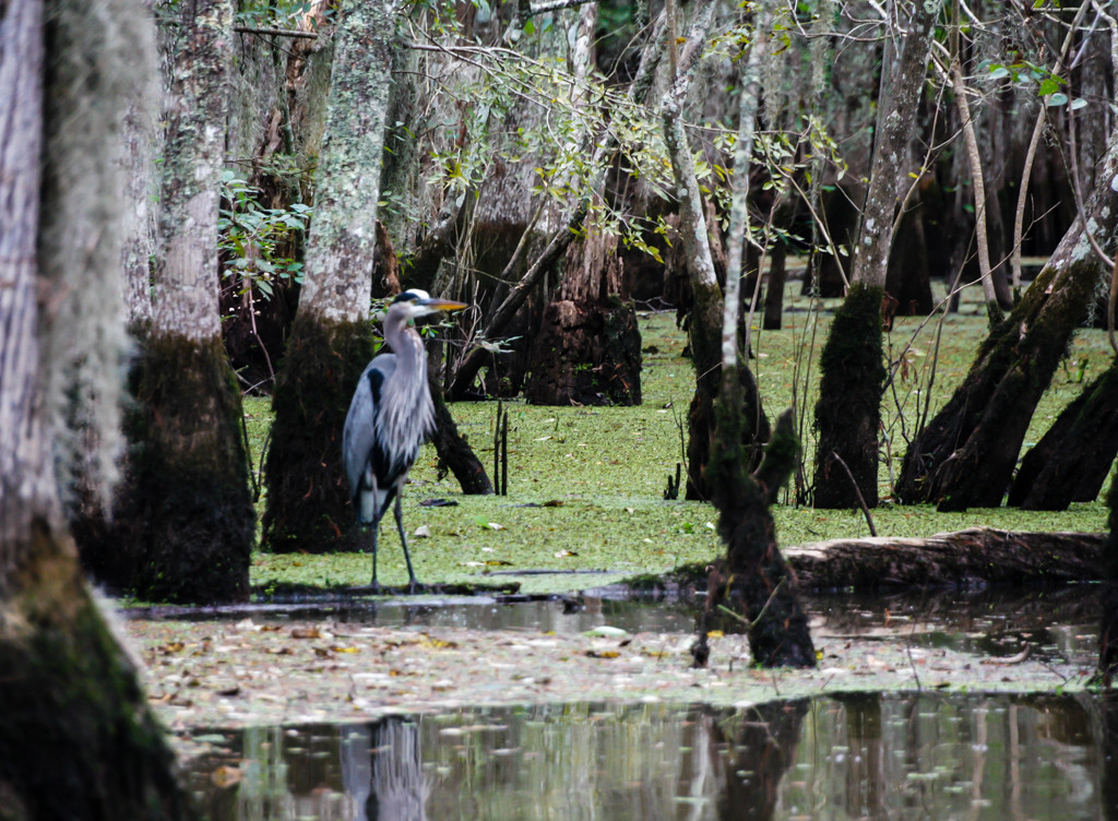 honey island swamp louisiana blue egret