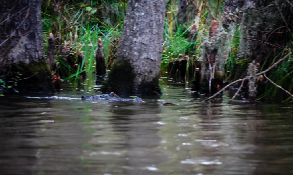 swamp louisiana aligator