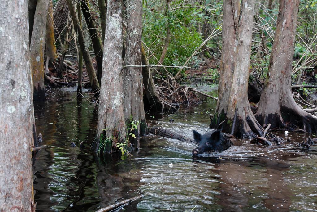 swamp louisiana pig honey island_-3