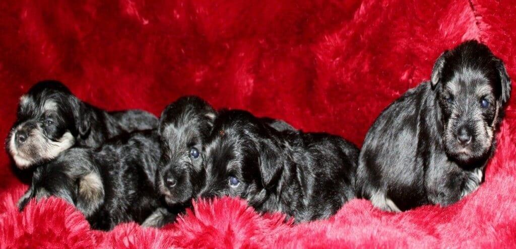 Reberstein Miniature Schnauzer Puppies Hanna's Puppies