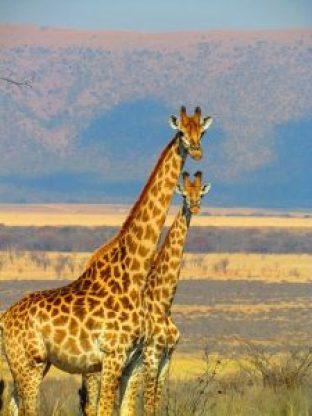 giraffes-382399_640