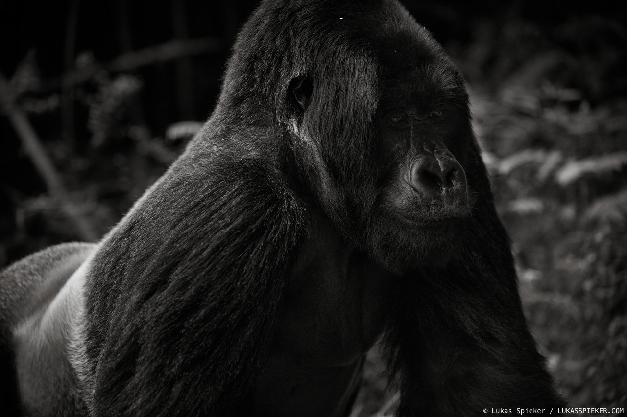 habitat loss of mountain gorillas The war in rwanda in the early 1990s and years of civil unrest in the democratic republic of congo have sent waves of refugees into the region around the virunga mountains parks that are home to more than half the mountain gorilla population, leading to poaching and destruction of gorilla habitat.