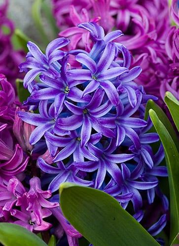 hyacinth-flowers