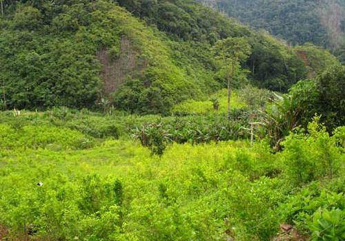 coltivazioni-di-coca