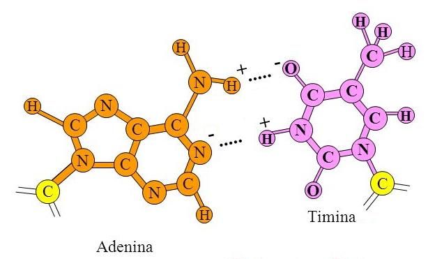 Accoppiamento tra la Timina (T) e l'Adenina (A)