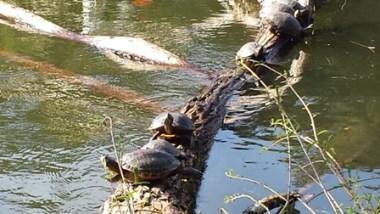 Le tartarughe che sollazzano al sole, nel parco di Nova Petropolis