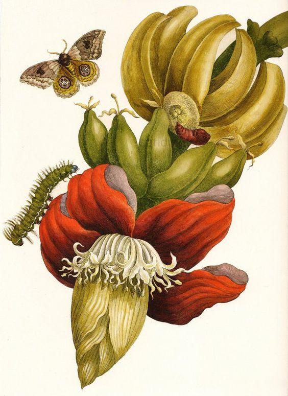 Metamorphosis-Insectorium-Surinamensium