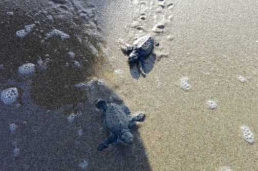 """Due delle 63 tartarughine """"Caretta caretta"""" nate, nel settembre 2015, sulla spiaggia della Giannella."""