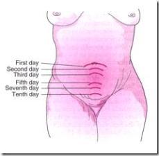 Gambar. Tinggi fundus uterus pada masa nifas